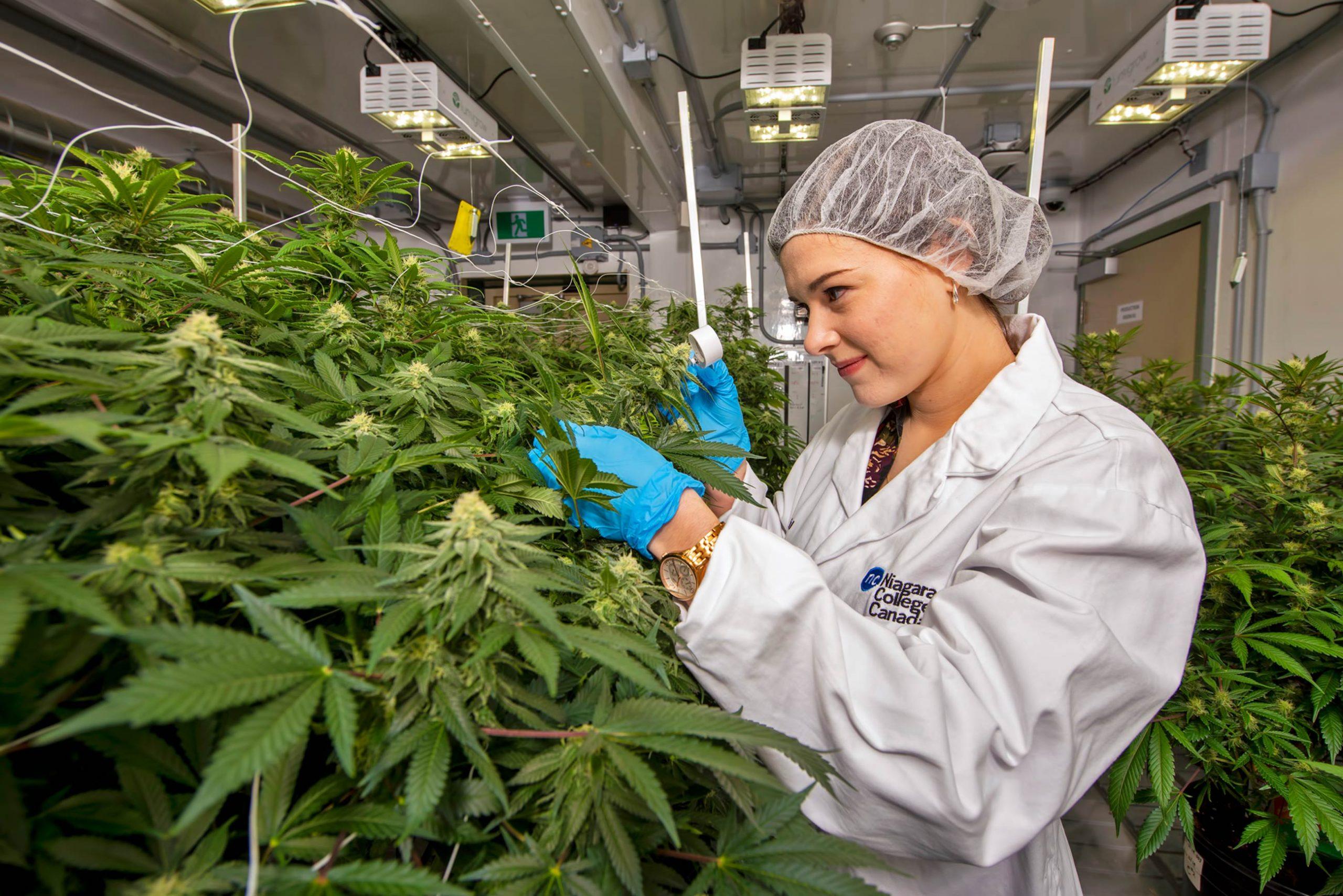 Canabisul este legalizat în SUA, în scop medicinal